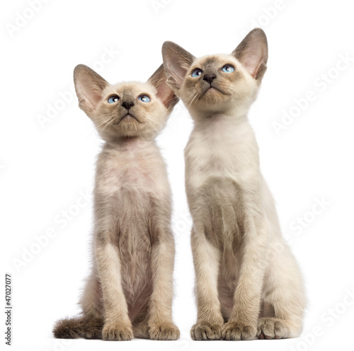 Two Oriental Shorthair kittens, 9 weeks old, sitting