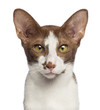 Close-up of an Oriental Shorthair looking at camera