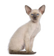 Oriental Shorthair kitten, 9 weeks old, sitting and looking away