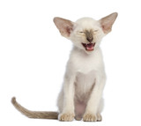 Oriental Shorthair kitten, 9 weeks old, sitting and meowing poster