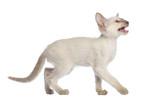 Oriental Shorthair kitten walking, looking up and meowing poster