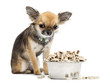 Guilty Chihuahua sitting next to bowl of food