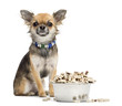 Chihuahua sitting next to bowl of food and looking at camera