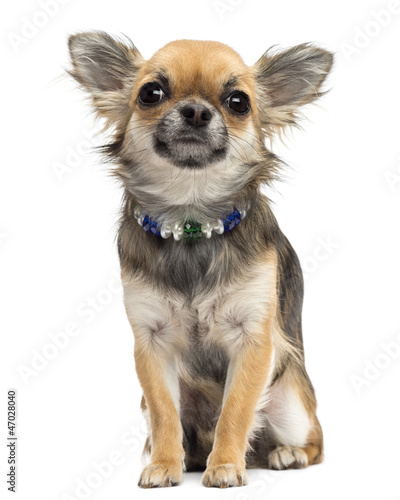Chihuahua sitting and looking at camera against white background