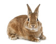 Rabbit lying and looking at camera against white background