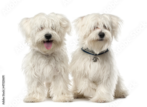Two Maltese dog, 2 years old, sitting