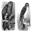Falcons - Falken - Faucons