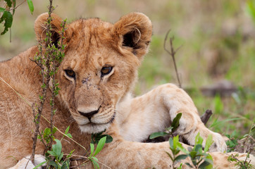 A lion cub on the plains of the Maasai Mara, Kenya