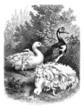 Geese - Oies - Gänse