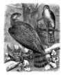 Falcons - Faucons - Falken