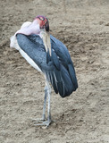 Marabou Stork pruning itself