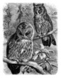 Hibou - Owl - Eule
