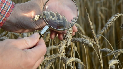 farmer with vintage magnifier glass looking  wheat condition