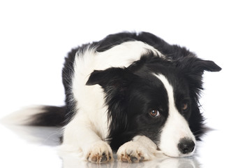 Border collie dog - Border Collie