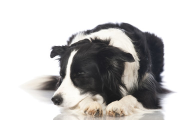 Border collie dog - Border Collie