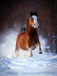 Bay horse galloping in winter