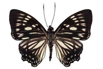 "Butterfly species Euripus nyctelius euploeoides ""Courtesan butte"