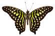 "Butterfly species Graphium agamemnon ""Tailed Jay"""