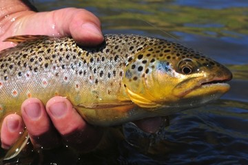 Beautiful brown trout caught while fly fishing