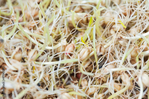 Wheat Sprouts