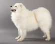 Samoyed dog (or Bjelkier)