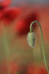Pączek kwiatowy