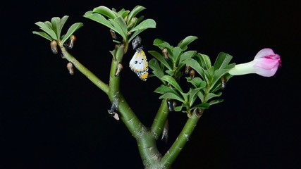Group of butterflies emerging from chrysalis