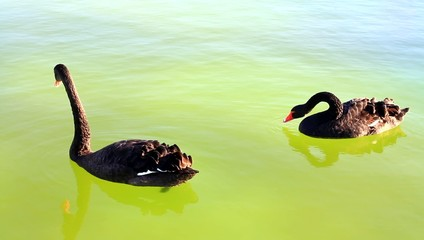 Black swans swimming in the pond