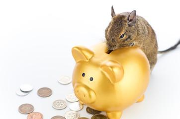 Degu saving money