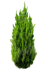 Isolated Conifer on White Background