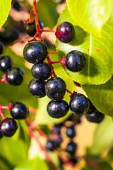 Aronia fruits