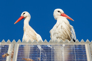 Pair of storks standing on a solar panel