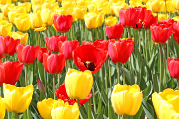 Bright red and yellow tulips
