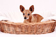 Miniature Pinscher