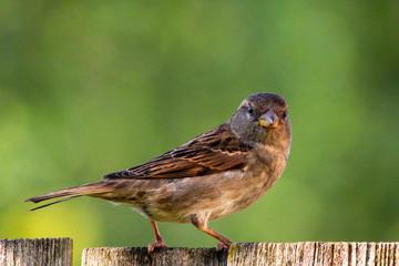 Dunnock Sparrow
