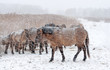 Konik horses in the snow in winter