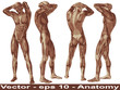 Vector conceptual human anatomy body with muscle