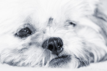 Adorable dog thinking, artistic toned photo