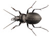 beetle species carabus coriaceus