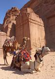 two camels near ancient ruins in Petra