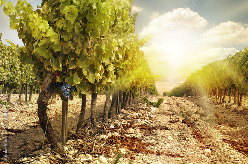 Vineyards at sunset in autumn harvest.