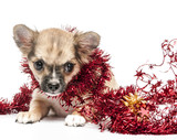 Chihuahua puppy  with red Christmas tinsel