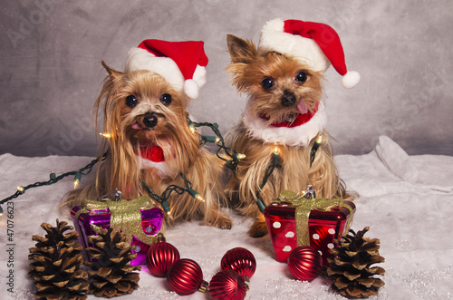 Yorkshire terrier dogs dressed up as santa