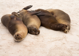Four galapagos seals in a row on beach