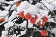 雪を被った柿の実