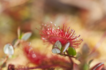 Common sundew (Drosera rotundifolia) macro photo