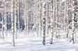 Snowy birch trunks
