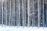 Fototapety Snowy birches
