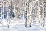 Fototapety Snowy birch trunks