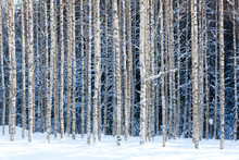 "Постер, картина, фотообои ""Snowy birches"""